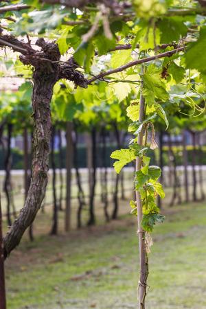pflanze wachstum: Traubenpflanzenwachstum im Weinberg