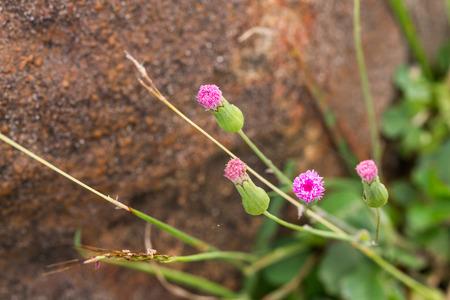spongy: pink spongy needle flower on tree