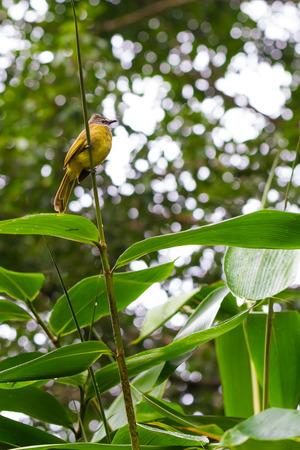 fat bird: fat yellow bird on tree Stock Photo