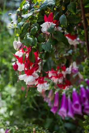 flores fucsia: manojo de flores fucsias rojos en el jardín