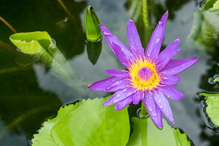 blooming purple: blooming purple lotus  in pond
