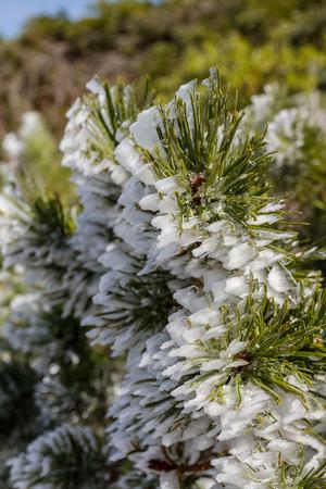 implications: freezing ice on green pine bush