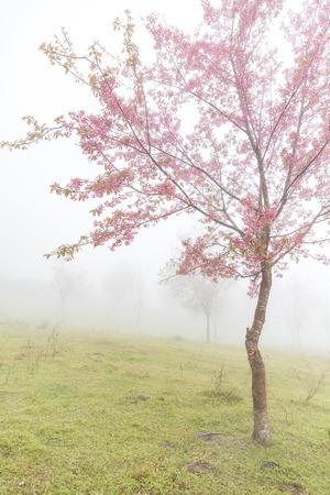 loei: Thai sakura or cherry blossom in mist at Phulomlo, Loei, Thailand
