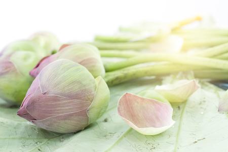 flor de loto: rosa en ciernes flores de loto en hojas de loto Foto de archivo
