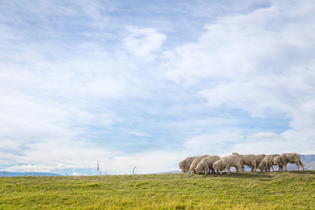 group of sheep in field under blue sky 写真素材