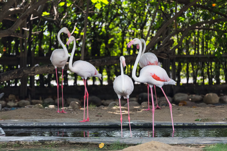 group of flamingo live in farm