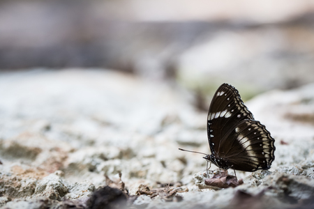 black wings butterfly on stone in forest