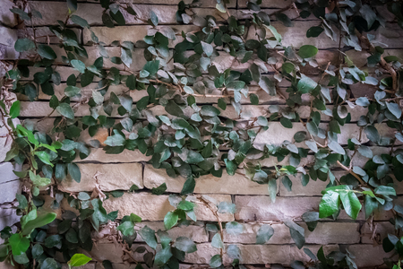 creep: green leaves of creep on stone wall