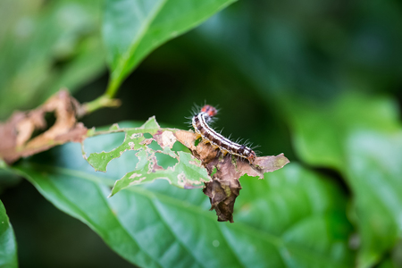 colorful caterpillar on indented leaf in forest