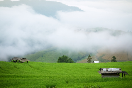 vibrant cottage: farmhouse in rice field morning scenery with fog at Chiang Mai, Thailand, Pa Pong Piang