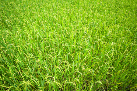 ear of rice in paddy background