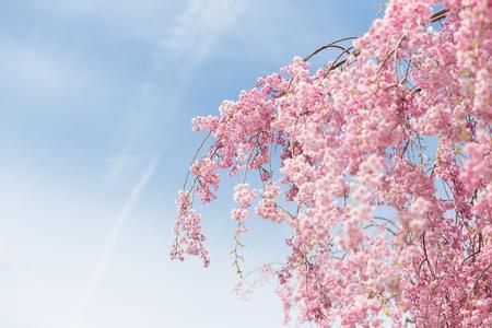 pink weeping sakura blooming on tree