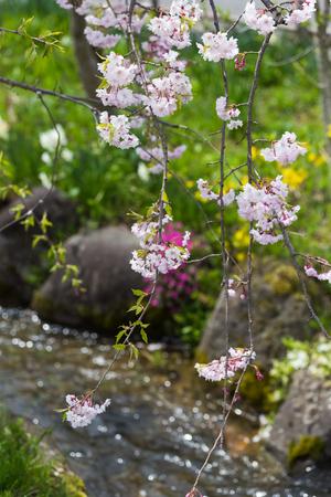 pink weeping sakura besides canal Stock Photo