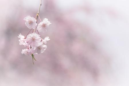 closeup pink weeping sakura blooming on tree