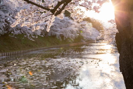 sunset scenic with cherry blossom and canel at Hirosaki park