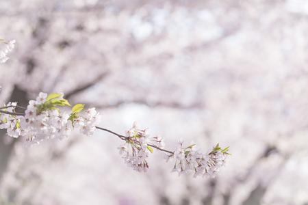 closeup cherry blossom, sakura, blooming on tree