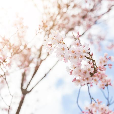 in full bloom: closeup cherry blossom, sakura, blooming on tree