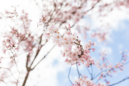 closeup pink cherry blossom on tree with cloudy sky