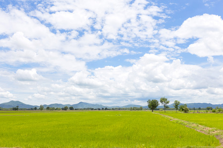 green rice field and blue sky Stock Photo