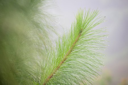 soft focus closeup branch of pine tree with dew