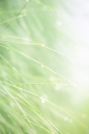 soft focus closeup branch of pine tree with dew  Stock Photo