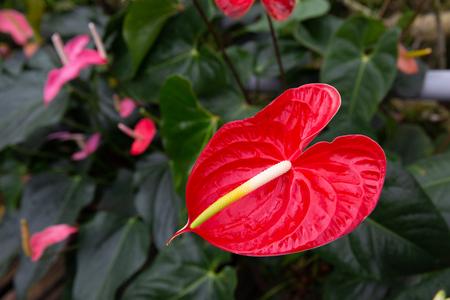 closeup red anthurium flower in garden Stock Photo