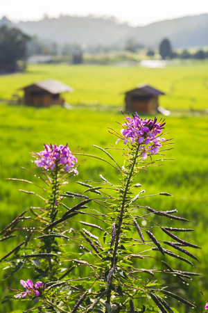 closeup pink flower with rice field background at Mae Klang Luang, Chiang Mai, Thailand Standard-Bild - 116415901