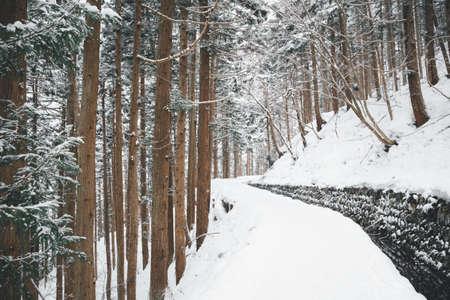 walkway among pine tree in winter at Nagano, Japan