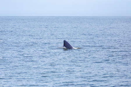 bryde's whale life in gulf of thailand