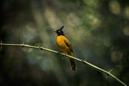 Black-crested bulbul (Pycnonotus flaviventris) on branch in forest