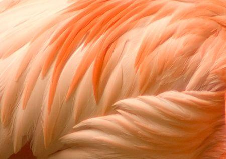 piume: Dettaglio il piumaggio arancio e rosa di un fenicottero Archivio Fotografico