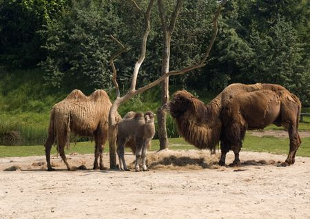 Three camels, two adult, one young, standing in the sand photo