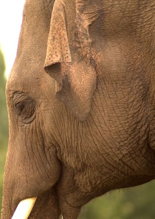 tusk: Portrait of an Indian elephant showing eye, ear, trunk and tusk.
