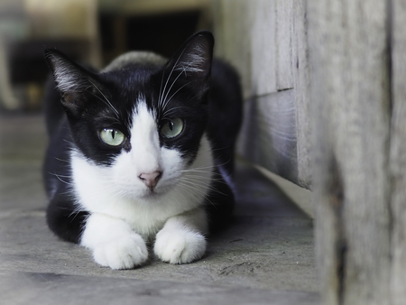 Black and white Thai cat sat and stared at the camera.
