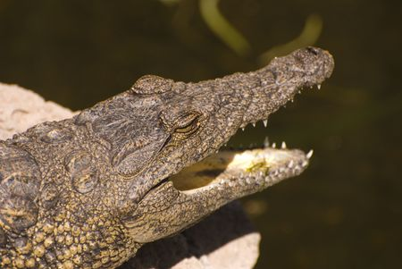 Head of an Alligator (Alligator Mississippiensis). Taken in a zoo in Fuerteventura, Spain. Stock Photo - 3055044