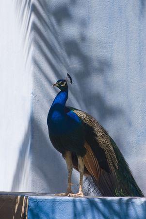 pavo: Indian Blue Peacock (Pavo Cristatus). This photo was taken in Fuerteventura, Spain.