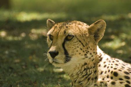 Close-up of Cheetah (Acinonyx Jubatus) Stock Photo - 3075638