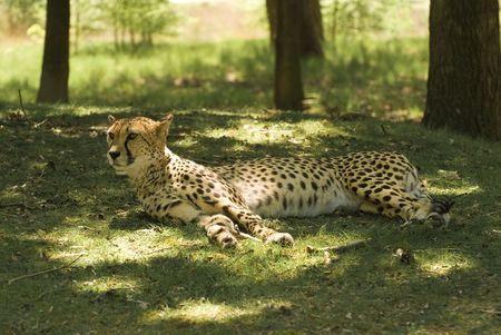 jubatus: Resting Cheetah (Acinonyx Jubatus)