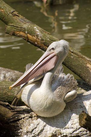 pelecanidae: Pink-backed Pelican (Pelecanus Rufescens)