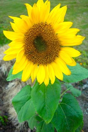 non urban 1: Sunflower
