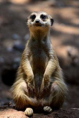 Close up view of a meerkat sitting up
