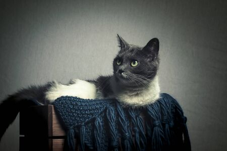 White and gray British Shorthair cat lying in a wooden crate with woolen blanket Imagens