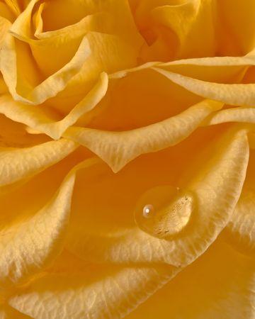 yellow: Yellow rose and water drop of macro shot Stock Photo