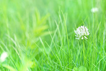 Fresh green blurred grass background. Nature and ecology. Wild Clover flower in the field. Harmony and calm