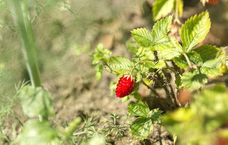 Wild strawberry in the bed. Organic garden. Summer farmcore