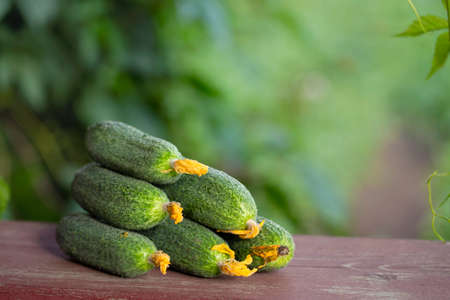 First ripe organic cucumbers. Blurred natural background. Close up, selective focus. Grow organic vegetables in kitchen garden.