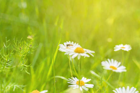 Wild flowers background. Chamomile in sunlight. Honey bee collecting pollen. 스톡 콘텐츠