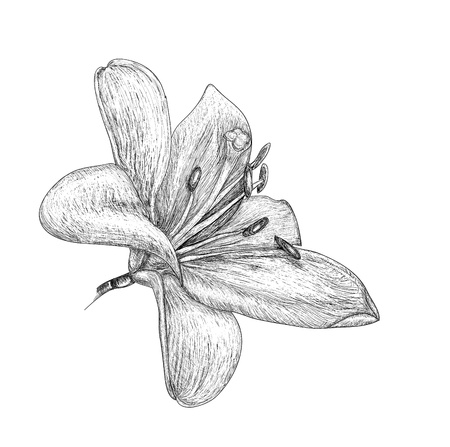 flowers lily, painting sketch Vector