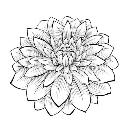 lineas decorativas: monocromático hermoso blanco y negro flor de la dalia aislada en el fondo blanco. Curvas de nivel dibujadas a mano y accidentes cerebrovasculares. Vectores