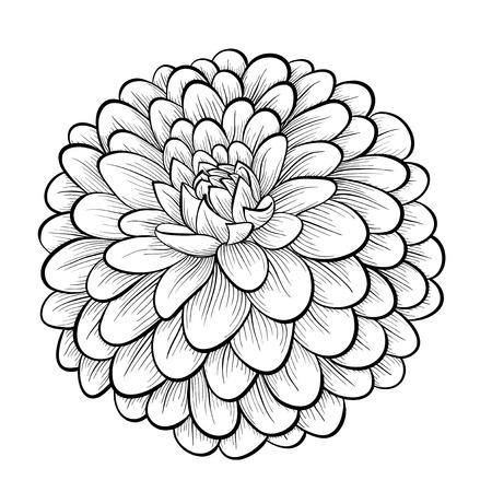 달리아: 아름다운 흑백 검은 색과 흰색 달리아 꽃 흰색 배경에 고립입니다. 손으로 그린 윤곽선과 뇌졸중.